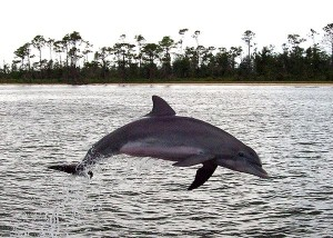 A_Bottlenose_Dolphin_at_play_in_Perdido_Bay