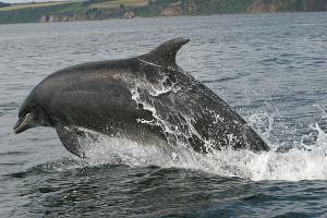 Bottlenose_Dolphin,_Tursiops_truncatus_jumping
