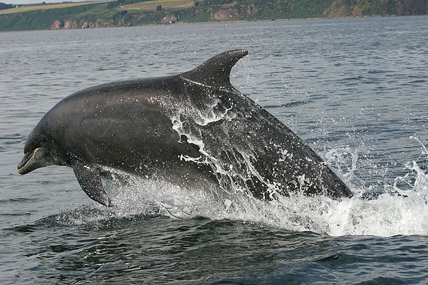 Bottlenose_Dolphin,_Tursiops_truncatus_jumping