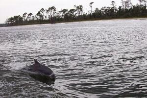 Bottlenose_Dolphins_at_play_in_Perdido_Bay_Alabama