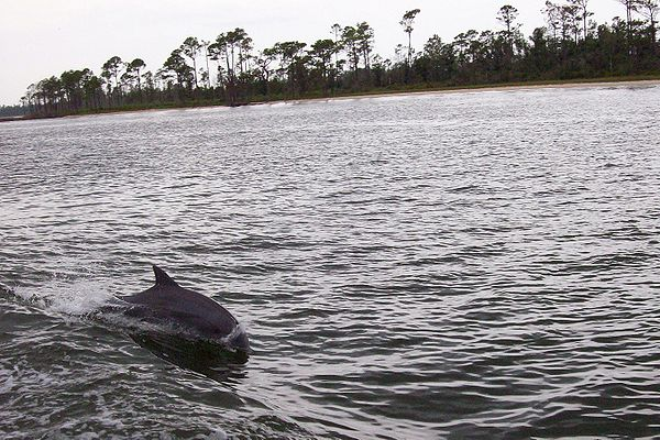 Bottlenose_Dolphins_at_play_in_Perdido_Bay_Alabama