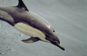 Common Dolphin Jumping