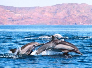 Common dolphins in Mexico