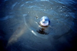 Dolphin_in_Sapelo_Island_Reserve