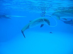 Bottlenose Dolphins Playing in Parc Asterix - Paris - France