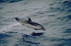 Striped dolphin_feature