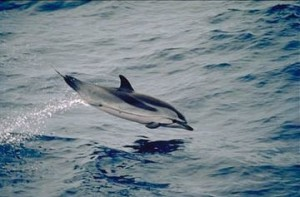 Striped Dolphin Jumping