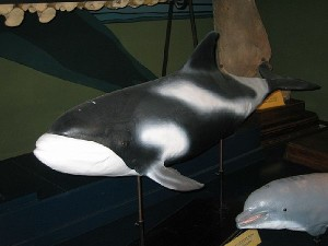 Bottlenose dolphin of the NMMP on mineclearance operations, with locator beacon