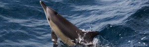 Common Dolphins swimming in ocean