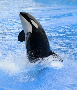 Killer whale jumping out of the blue water