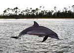 A Bottlenose Dolphin at play in Perdido Bay