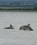 Baby_bottlenose_dolphin_thumb