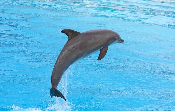 Bottlenose-Dolphin-Jumping