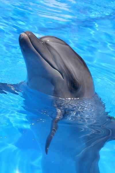 Bottlenose Dolphin (Tursiops truncatus) - Dolphin Facts ... - photo#31