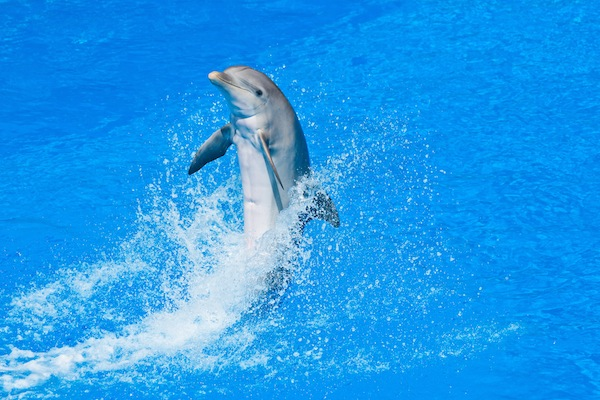 Bottlenose-Dolphin-in-Captivity