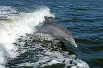 Bottlenose_Dolphin_Jumping_thumb