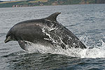 Bottlenose_Dolphin_Tursiops_truncatus_jumping_thumb