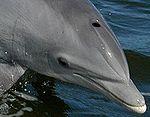 Bottlenose_Dolphin,_Tursiops_truncatus_thumb