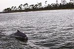 Bottlenose Dolphins at play in Perdido Bay, Alabama