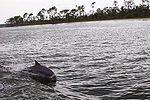 Bottlenose_Dolphins_at_play_in_Perdido_Bay_Alabama_thumb