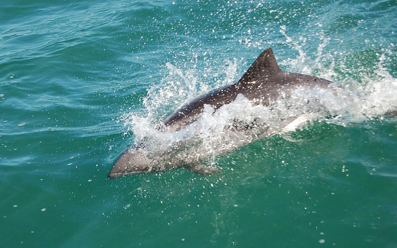 Heaviside's dolphin (Cephalorhynchus heavisidii)