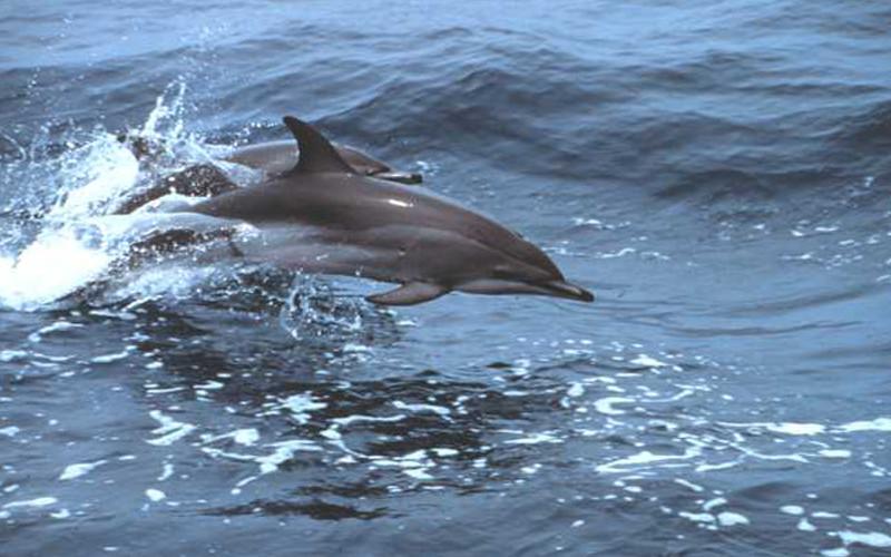 Clymene Dolphin (Stenella clymene)