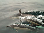 Common_Dolphin_Blowing_thumb
