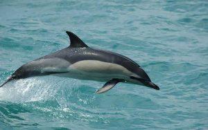 Delphinus delphis.