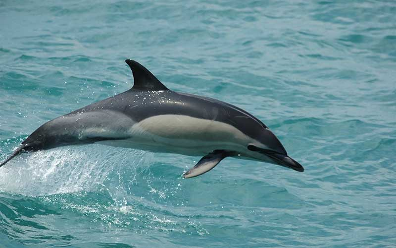 Common Dolphin Delphinus Delphis Dolphin Facts And Information