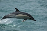 Delphinus Delphis, Common Dolphin jumping