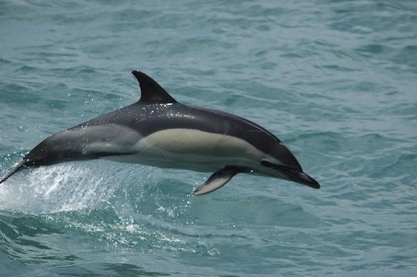 Delphinus-Delphis-Common-Dolphin