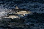 Delphinus Delphis with Calf
