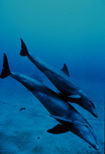 Dolphin_Mother_and_Calf_thumb