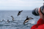 Dusky Dolphins Jumping (Lagenorhynchus obscurus)