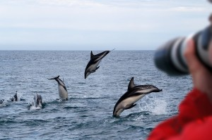 Dusky Dolphins New Zealand