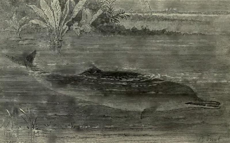 Ganges River Dolphin (Platanista gangetica gangetica)