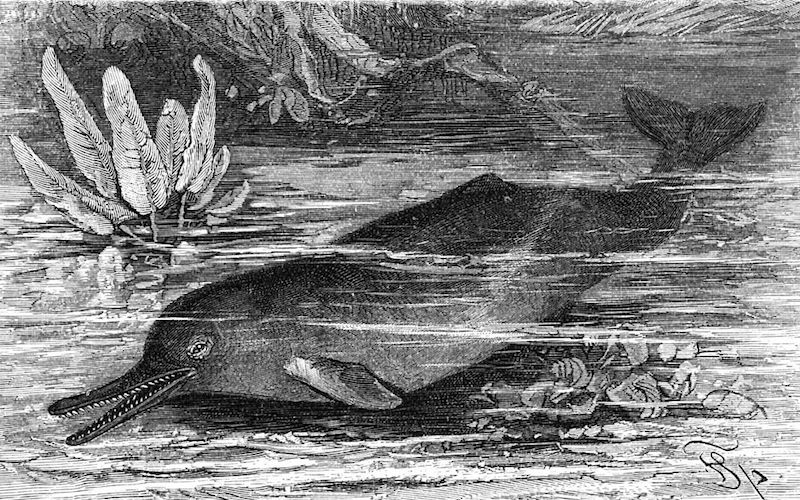 Indus River Dolphin (Platanista gangetica minor)