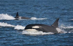 Characteristics of killer whale.