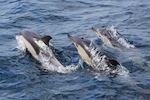 Pack of Common Dolphins