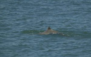 Australian Snubfin Dolphin.