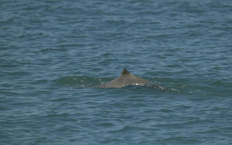 Australian Snubfin Dolphin (Orcaella heinsohni)