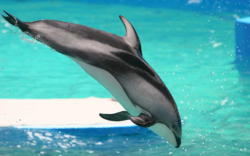 Pacific White-Sided Dolphin (Lagenorhynchus obliquidens ... - photo#18