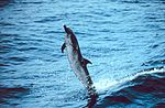 Pantropical Spotted Dolphin (Stenella Attenuata)