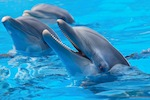 Performing Bottlenose Dolphins