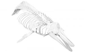 Dolphin skeleton.
