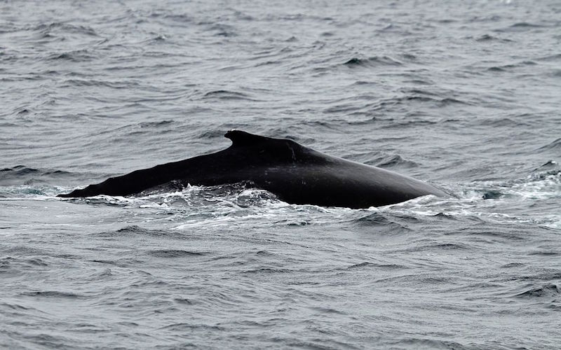 Atlantic Humpback Dolphin (Sousa teuszii)