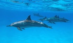Spinner Dolphins in the waters of Kauai, Hawaii