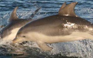 Burrunan Dolphin.