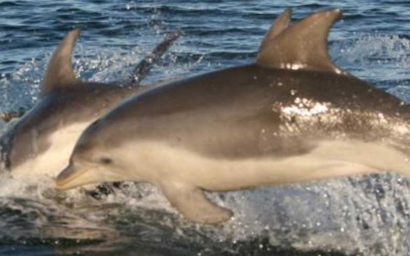 Burrunan Dolphin (Tursiops australis)