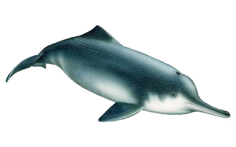 Baiji – Chinese River Dolphin (Lipotes vexillifer)